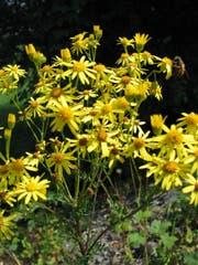Das Jakobs-Kreuzkraut in voller Blüte. (Bild: PD/Agroscope ART)