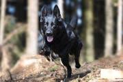 Er hat die Einbrecher aufgespürt: Diensthund Wallace. (Bild: Zuger Polizei)