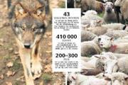 Der Wolf bereitet sich wieder in der Schweiz aus, nachdem er Ende des 19. Jahrhunderts ausgerottet war. Dies zum Leidwesen der Schafhalter. (Bilder Neue LZ/Keystone, Steffen Schmidt)