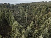 Zahlreiche lichte Stellen im Wald. (Bild: Pius Amrein (Lieli, 8. Januar 2018))