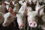 Der Beschuldigte erhielt über 800 Schweine zur Mast, lieferte davon aber nur 250 wieder ab. (Symbolbild: Pius Amrein)