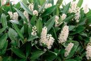 Beliebt als Sichtschutzhecke: Kirschlorbeer ist eine der exotischen Pflanzenarten, die der Kanton Zug gezielt bekämpfen will. (Bild: pd)