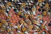 Wenn eine Bienenkolonie von der Varroamilbe befallen ist, geht sie geschwächt in den Winter, und es besteht die Gefahr, dass das ganze Volk eingeht. Bild: Martin Rütschi/Keystone