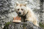Bärin Fränzi mit der Geburtstagstorte im Tierpark. (Bild: Alexandra Wey / Keystone (Goldau, 17. Januar 2018))