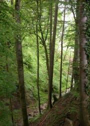Ein Schutz- und Nutzwald. (Bild: pd)