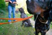 Im Kanton Schwyz gilt generell eine Leinenpflicht für Hunde (Symbolbild). (Bild: Keystone / Martin Ruetschi)