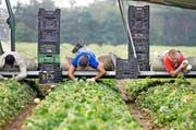 Ein polnischer Erntehelfer auf einem Bauernhof im Mittelland. (Bild: Keystone/Gaetan Bally)