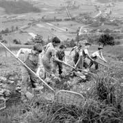 Kinder der Armenerziehungsanstalt Dorneren im bernischen Gürbetal bei der strengen Arbeit auf dem Feld. Undatierte Aufnahme aus den 50er-Jahren. (Bild: Keystone/Walter Studer)