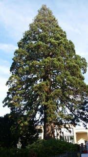 So sah der Mammutbaum im Jahr 2015 aus. (Bild: pd/Gemeinde Cham)