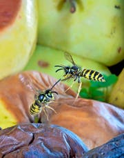 Über eine Wespenplage kann man sich heuer nicht beschweren. (Bild: Getty)
