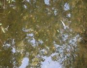 Verendete Fische treiben in der Ron. Auf einer Strecke von 3,4 Kilometern wurde der gesamte Fischbestand vernichtet. (Bild: Luzerner Polizei)