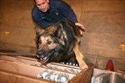 Ein Polizeihund bei der Arbeit. (Symbolbild Nadia Schärli/Neue LZ)