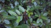 Durch Vögel gelangen die Samen der Kirschlorbeerfrüchte aus den Gärten in den Wald. (Bild: pd)
