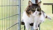 Immer wieder werden Katzen aus Ferienorten ohne Bewilligung in die Schweiz gebracht. (Bild: Stefan Kaiser (Allenwinden, 3. April 2017))