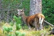 Eine Hirschkuh im Nationalpark. In Uri müssen weitere weibliche Hirsche erlegt werden. (Bild: pd)