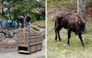 In diesem Holzkonstrukt (links) ist das Wisent innerhalb des Tierpark Goldau umplatziert worden. Jetzt geniesst es das neue Zuhause. (Bild: PD)