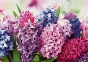 Die Hyazinthe ist mit ihrem schwülstigen Duft eine beliebte Frühlingsbotin. (Bild: Getty)