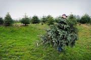 Die Tannen aus lokaler Produktion sind beliebt: Christoph Bucher betreibt im aargauischen Oberrüti eine eigene Christbaumkultur. (Bild: Dominik Wunderli)