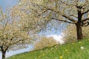 Kirschbäume auf dem Walchwilerberg stehen in Blüte. (Bild: pd)