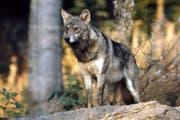 Gerade im Sommer sind Schafe und Geissen auf der Alp einer erhöhten Gefahr von Wolfangriffen ausgesetzt. (Bild: Romano Cuonz)