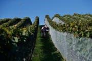 Auf Kontrolltour: Mitglieder der Weinbaugenossenschaft Erli-Reben in Steinhausen.Bild: Stefan Kaiser (4. Oktober 2016)
