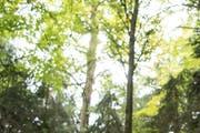 Symbolbild Wald. (Bild: Nadia Schärli / LZ (9. Oktober 2017))