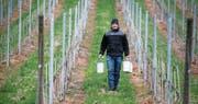 Philipp Hotz hat einen Teil seines Betriebs mit Paraffinkerzen ausgestattet (grosses Bild). In Rotkreuz werden die Erdbeeren mit einer Wärmeluftanlage vor der Kälte geschützt. (Bilder: Stefan Kaiser/PD)
