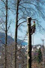 Forstwart Res Niederberger fällt einen Baum beim Hirschpark. Bild: Eveline Beerkircher (Luzern, 14. März 2017)