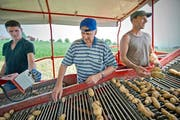 Eine schweisstreibende Angelegenheit: Reporter Ernesto Piazza (Mitte) hilft Landwirt Konrad Stocker (links) auf dem Hof von Markus Odermatt (rechts) in Ballwil bei der Kartoffelernte. (Bild Pius Amrein)