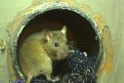 Eine junge Luzerner Ratte - hier allerdings ein Exemplar in einer Ausstellung im Naturmuseum. (Bild: Archiv Neue NZ)