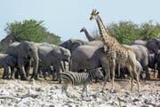 Elefanten, Zebras und Giraffen werden unter den ersten überführten Tieren sein. (Bild: Jeff Overs/Getty)