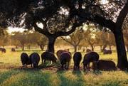 In ihren letzten Monaten ernähren sich diese speziellen spanischen Schweine in der Extremadura ausschliesslich von Eicheln. (Bild: PD)