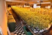 Diese Hanfindooranlage mit über 6000 Pflanzen wurde im Oktober in Reichenburg aufgedeckt. (Bild: Kantonspolizei Schwyz)