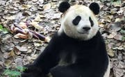 Einer der zwei neuen Pandas im Zoo Kopenhagen. (Bild: Zoo Kopenhagen)