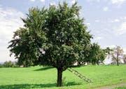 Bleiben in diesem Jahr von Pflanzenschutzmitteln verschont: Luzerner Obstbäume. (Bild: Arichiv / Neue LZ)