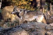 Ein Wolf in den Schweizer Alpen. (Bild: Romano Cuonz / Neue NZ / Archiv)