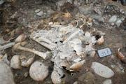 Bei der Grabung wurden die menschlichen Knochen frei gelegt und geborgen. (Bild: PD)