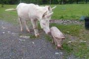 Eine nicht ganz alltägliche Freundschaft ist im Natur- und Tierpark Goldau zwischen Ferkeln und Eseln entstanden. (Bild: pd)