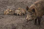 Die Mutter kümmert sich hervorragend um ihren Nachwuchs. (Bild: Tierpark Goldau)