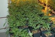 Die Polizei stellte 37 Hanfpflanzen sicher. (Symbolbild Polizei)