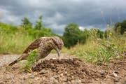 Gesamtsieger des Fotowettbewerbs: Mit seiner klebrigen Zunge ist der Wendehals perfekt an den Fang von Ameisen angepasst, die er hier aus ihrem Nest holt. (Bild: Oliver Richter)