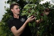 Bei Konrad Stocker und seiner Familie ist die Kirschenernte in vollem Gang. Der Eschenbacher Obstbauer erwartet einen Ertrag von rund 10 Tonnen. (Bild Pius Amrein)