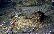 Einer der jungen Bartgeier beim Nest. (Bild: Screenshot Webcam)