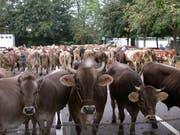 Rund 150 Tiere wurden jeweils auf dem Schlachtviehmarkt in Sursee gehandelt. (Bild: PD)