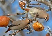 Nicht geerntete Äpfel sind bei Seidenschwänzen sehr beliebt. (Bild vogelwarte.ch/Jean-Lou Zimmermann)
