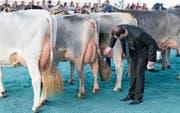 Auch an der Bruna auf dem Stierenmarktareal in Zug wurden mehrere Kühe zu lange nicht gemolken. (Bild: Roger Zbinden (8. April 2017))