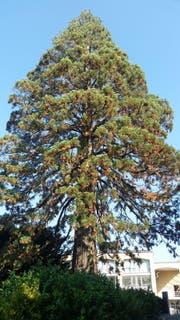 Der Mammutbaum im Jahr 2016: Am Dienstag, 28. Februar wird er gefällt. (Bild: Gemeinde Cham/PD)