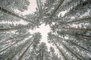 Verschneiter Honauerwald. (Bild: Pius Amrein (Honau, 19. März 2018))