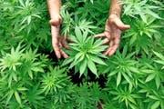 Hanf gilt als eine Kulturpflanze, die auch in der Schweiz perfekt wächst. (Bild: Keystone/Abir Sultan)