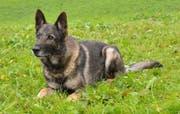 Polizeihund Xando stellte einen Einbrecher. (Bild: Luzerner Polizei)